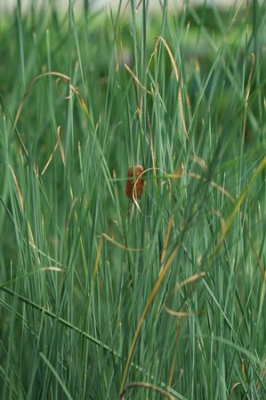 Typha laxmannii Graceful Cattail from Aquascapes Unlimited ...