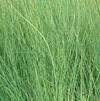 Juncus inflexus 'Love Sick Blues'