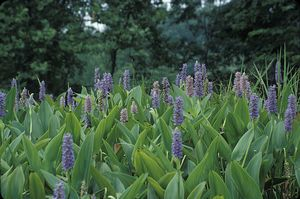 Wholesale Native Wetland Plants